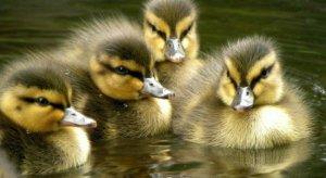 New Ducklings