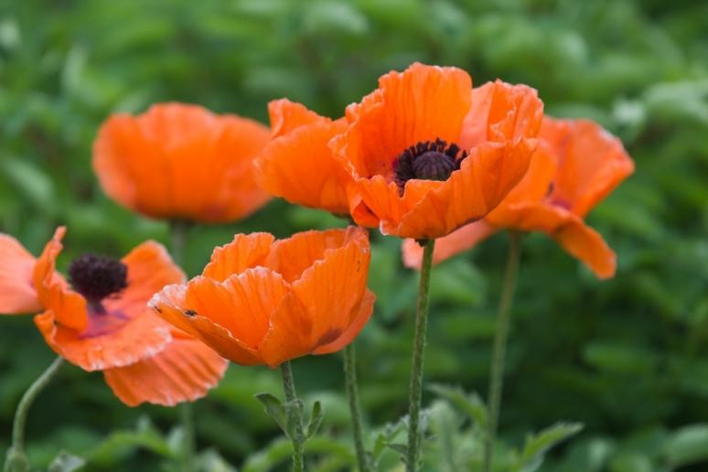 Vivid poppies ile ste helene montreal a bird 39 s eye view - Yellow poppy flower meaning ...