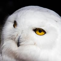 Pensive Snowy Owl