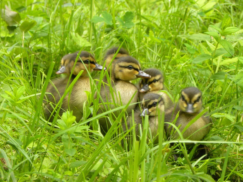A ________ of Ducklings?